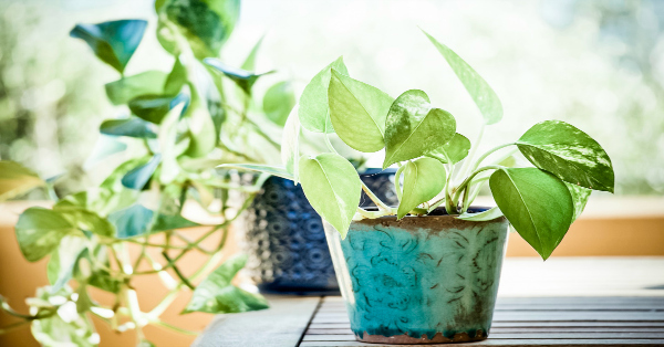 Easy to Grow Air Purifying Indoor Plants