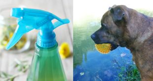 ACV Spray for Dogs DIY Recipe