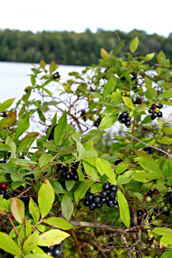 wildtroutlakeblueberries