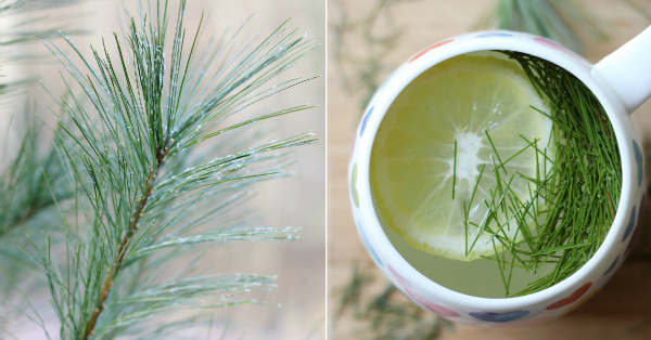 How to make pine tea