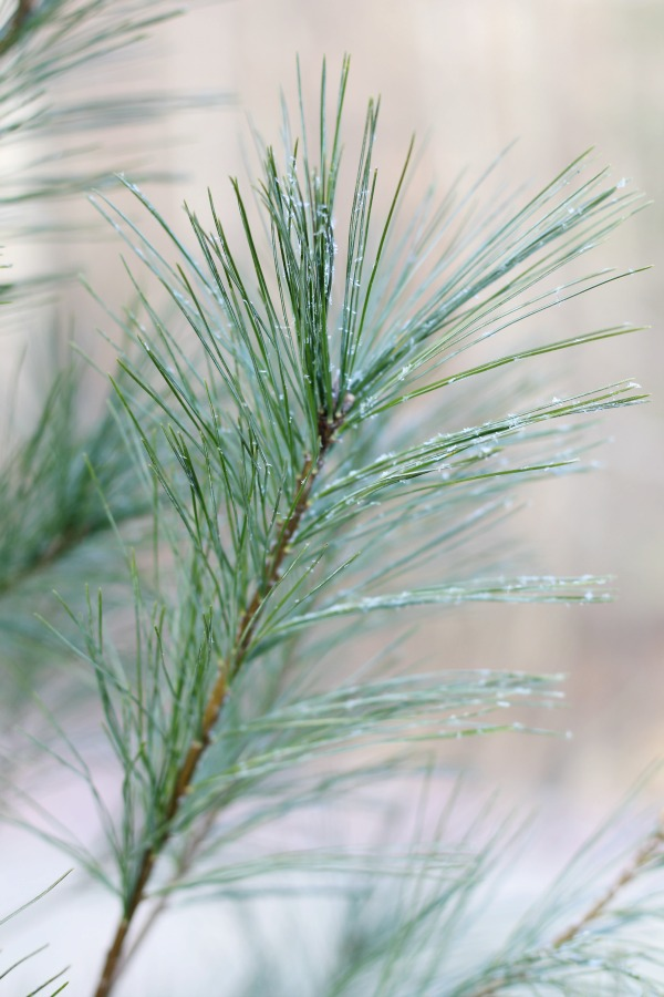 How to identify a pine tree