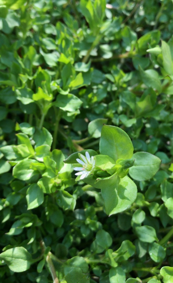 Chickweed Identification - Edible and Medicinal