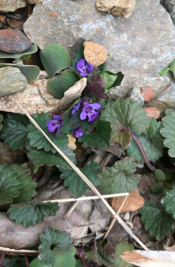 Ground Ivy Identification Creeping Charlie Edible and Medicinal