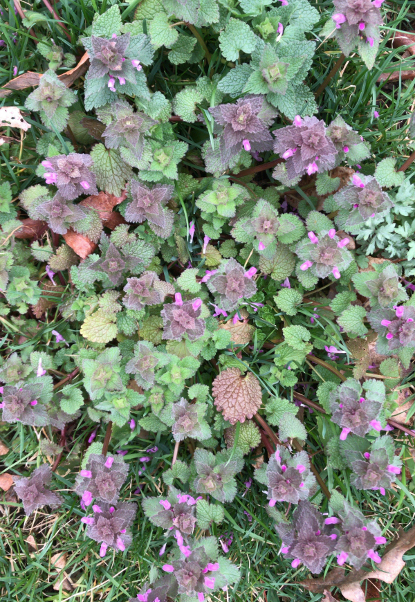 Purple Deadnettle Identification - Edible and Medicinal
